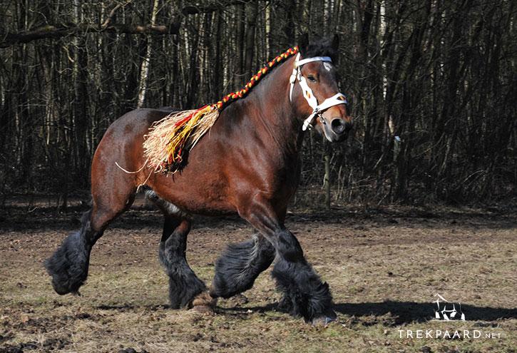photo cheval belge